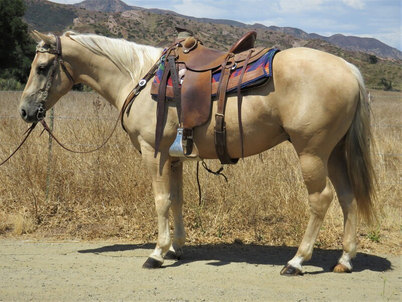 5 YEAR OLD 14.3 HAND PALOMINO GELDING **SOLD**