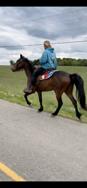 Beautiful Experienced Bay Trail Horse