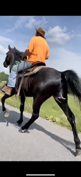 Gorgeous Black Easy To Ride Trail Horse