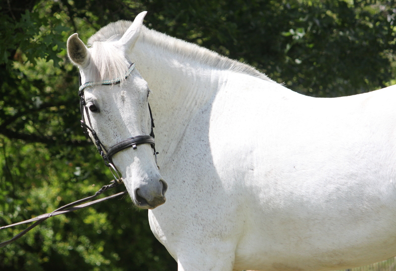 2014 Pure Andalusian Mare under Saddle