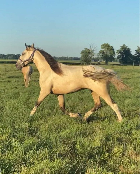 Stunning 16.1 Spotted Buckskin Trail Horse