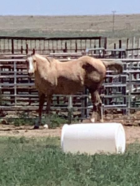 FANCY BAREEL HORSE PRODUCING MARE