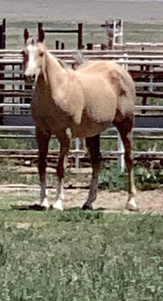 FANCY BAREEL HORSE PRODUCING MARE