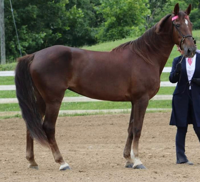 Beautiful 4H/Trail Horse/Drill Team Mare