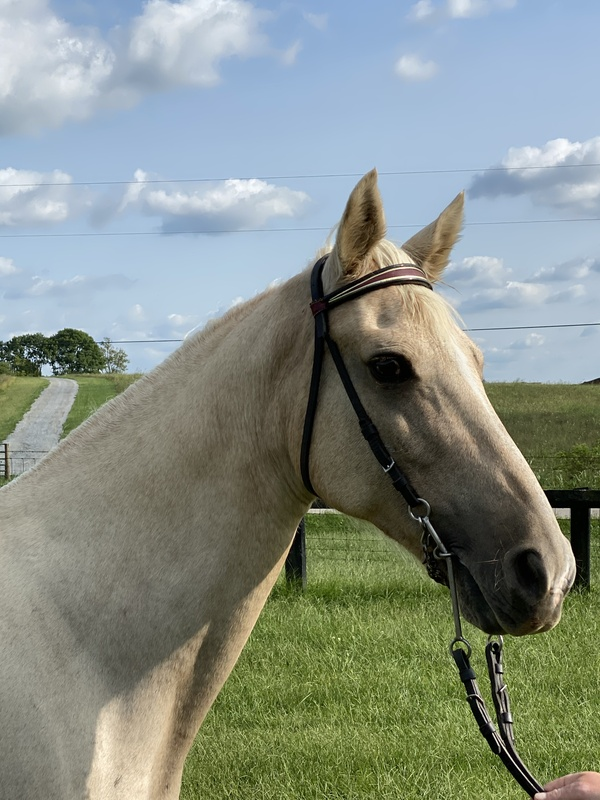 Novice Safe Palomino Trail Horse
