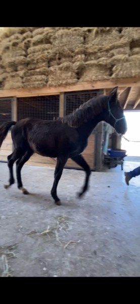 Beautiful Well Bred Black Filly