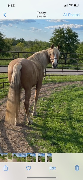 Novice Safe Golden Palomino Trail Horse