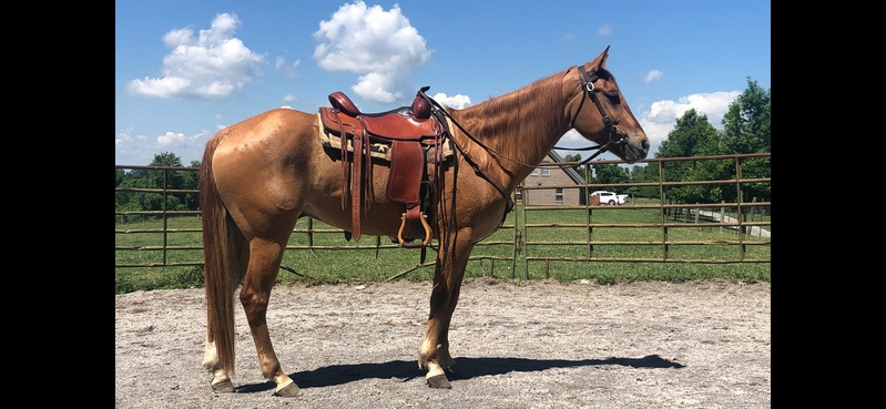 Beautiful Red Dun Experienced Trail Horse