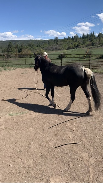 Well Gaited Experienced Trail Horse