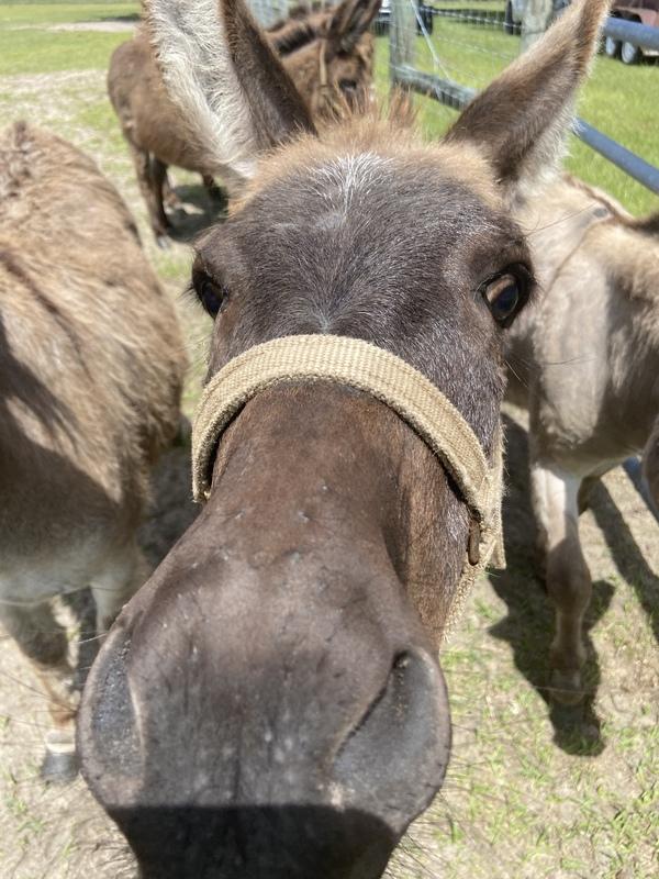 Miniature donkeys jacks and Jenny's