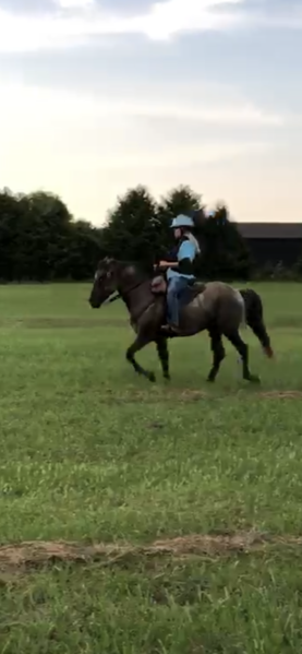 Stunning 14.3 Grulla Trail Horse