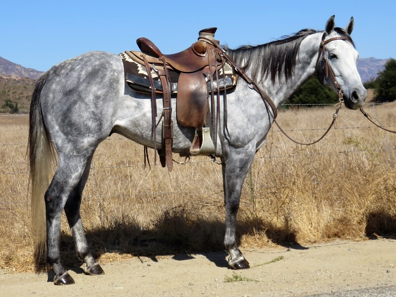 7 YEAR OLD 15.2 HAND GRAY GELDING **SOLD** **VIDEO**