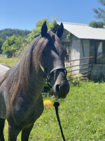 Gorgeous Well Mannered Easy To Ride Chocolate Roan Gelding