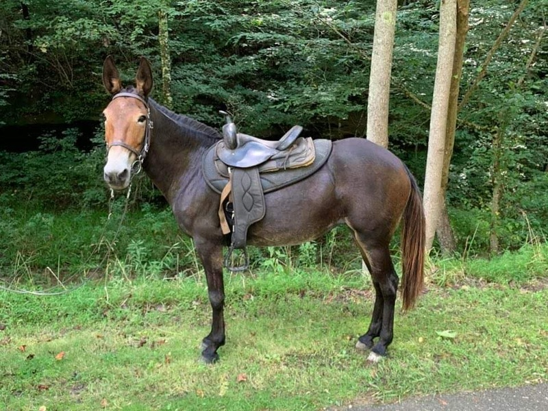 Gaited Bomb Proof 14.3 Molly Mule
