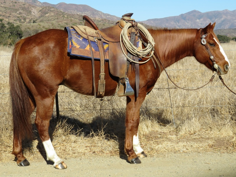 7 YEAR OLD SORREL GELDING
