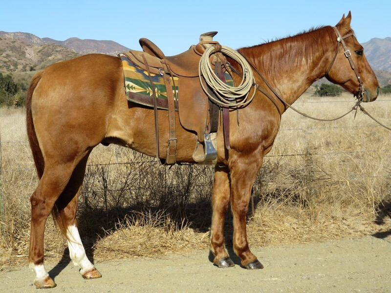 9 YEAR OLD 15.2 HAND RED DUNN GELDING