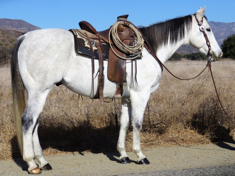 6 YEAR OLD 15.2 HAND GREY GELDING