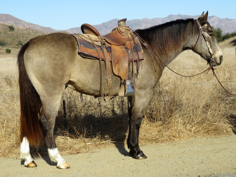8 YEAR OLD BUCKSKIN GELDING