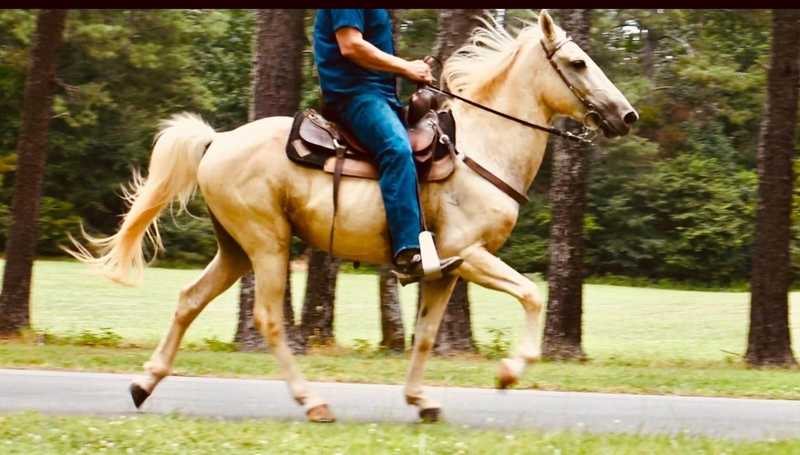 Well Gaited Trail Savvy Palomino