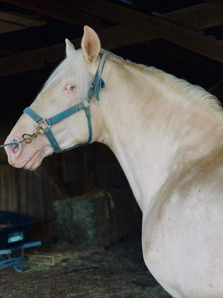 Gorgeous Experienced Trail Horse/Stallion