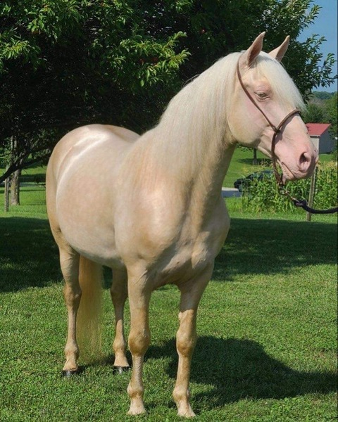 Gorgeous Experienced Trail Horse/Stallion