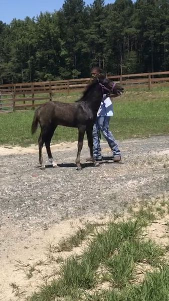 Beautiful Grey Rocky Mountain Yearling Colt