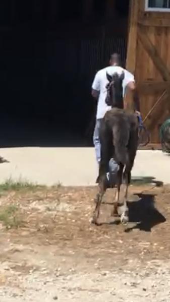 Beautiful Grey Rocky Mountain Yearling Colt