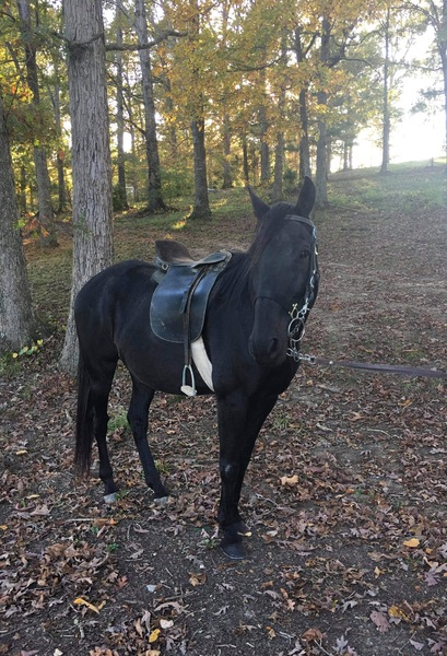 15.3 Well Gaited Easy To Ride Trail Horse