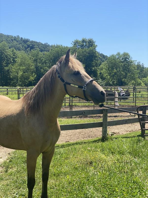 Beautiful Buckskin Trail Horse