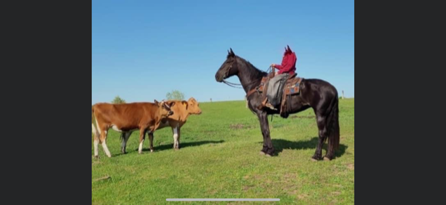 8 YEAR OLD 16.2 HAND BLACK MARE **VIDEO**