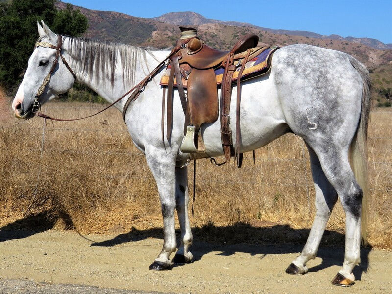 6 YEAR OLD 15.3 HAND GREY GELDING