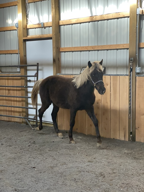 Gorgeous Well Bred Sweet Chocolate Yearling Colt