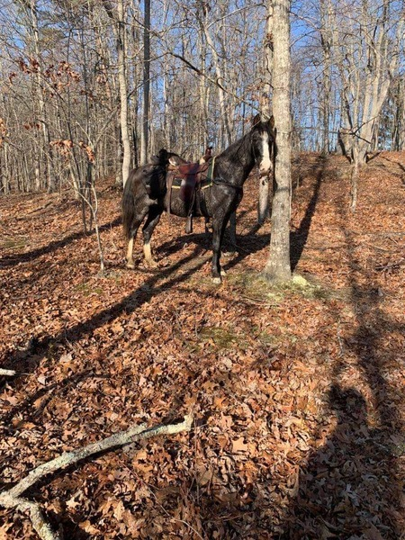 Easy To Ride Experienced Trail Horse