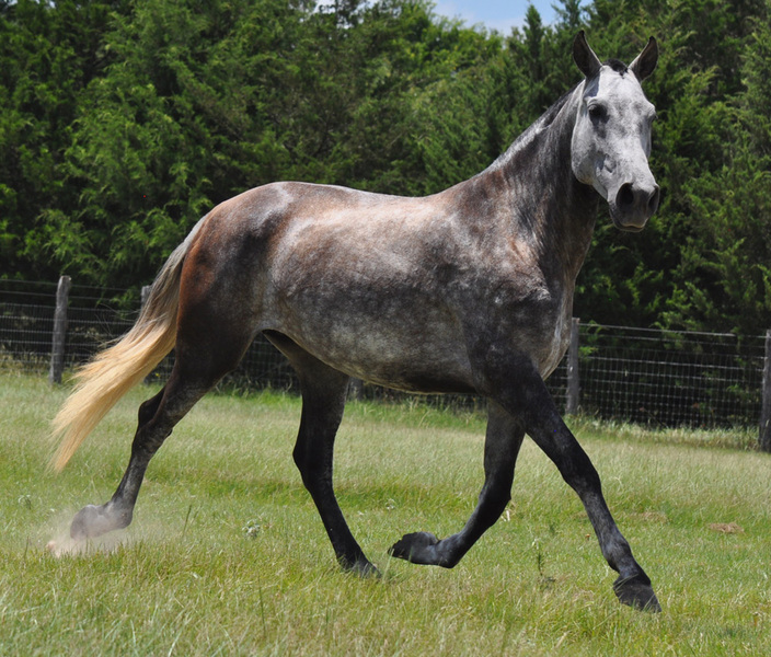 Approved Spanish PRE Mare under saddle
