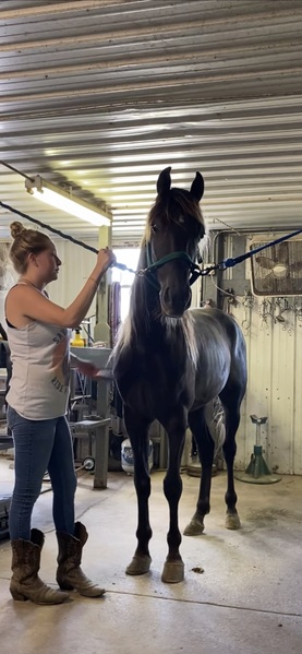 Well Trained 15 Hand Trail Horse