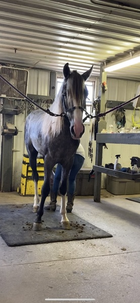 Stunning Well Trained Grey Colt