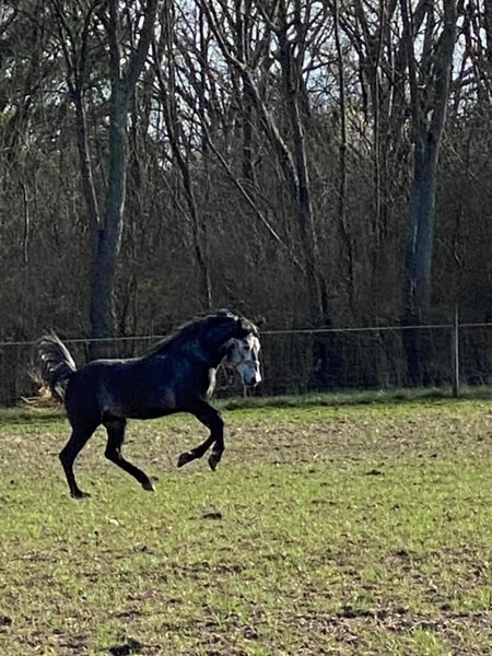 Bomb Proof Multi Talented Dapple Grey Gelding