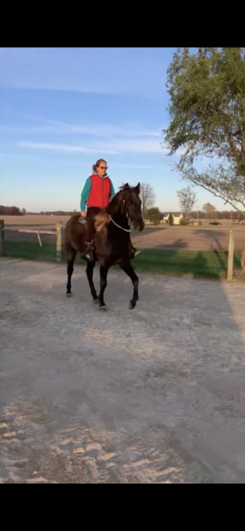 Novice Safe 16 HH Chocolate Gelding