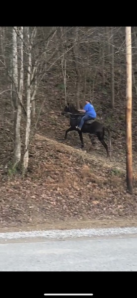 Gorgeous 15 Hand Amazing Chocolate Roan Trail Horse