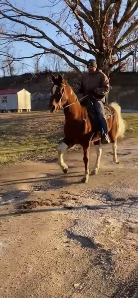 Seasoned Flashy Gaited 15.1 Gelding